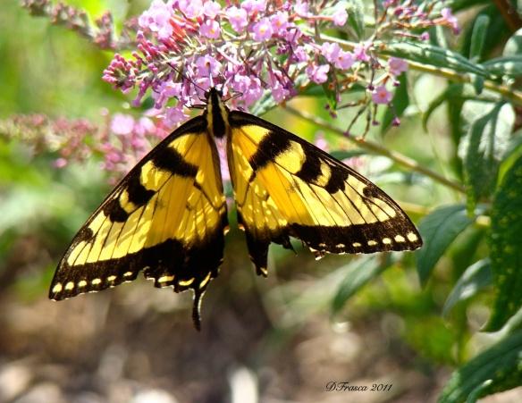 butterflybush-frasca